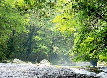 清流を育む菊池渓谷の渓畔林